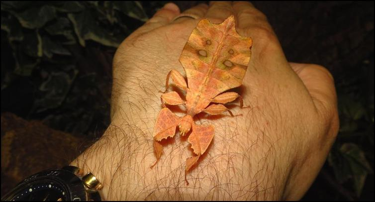 Brown Leaf Insect