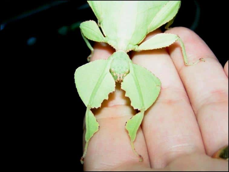 Female Leaf Insect