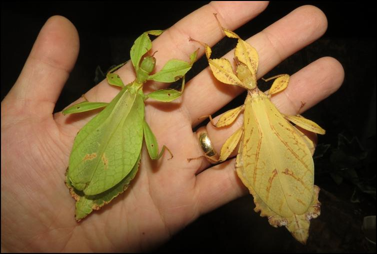 Colour variation in Leaf Insects