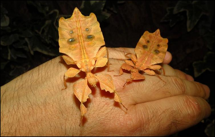 Brown Leaf Insects