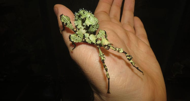 Giant Australian Prickly Stick Insects