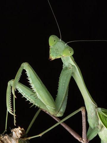 Macro photo of giant asian praying mantis