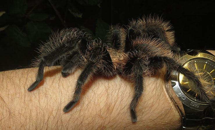Honduran Curly Hair Tarantula