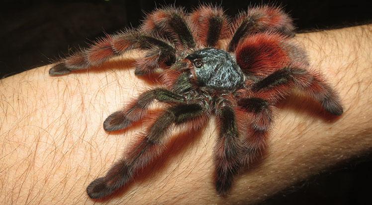 Female Antilles Pink Toes Tarantula