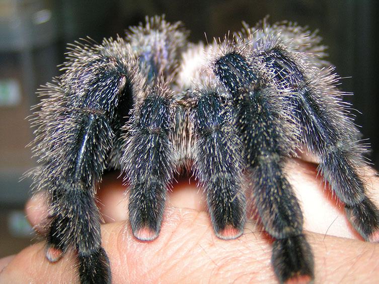 Hairy legs of Peruvian Pinktoe Tarantula