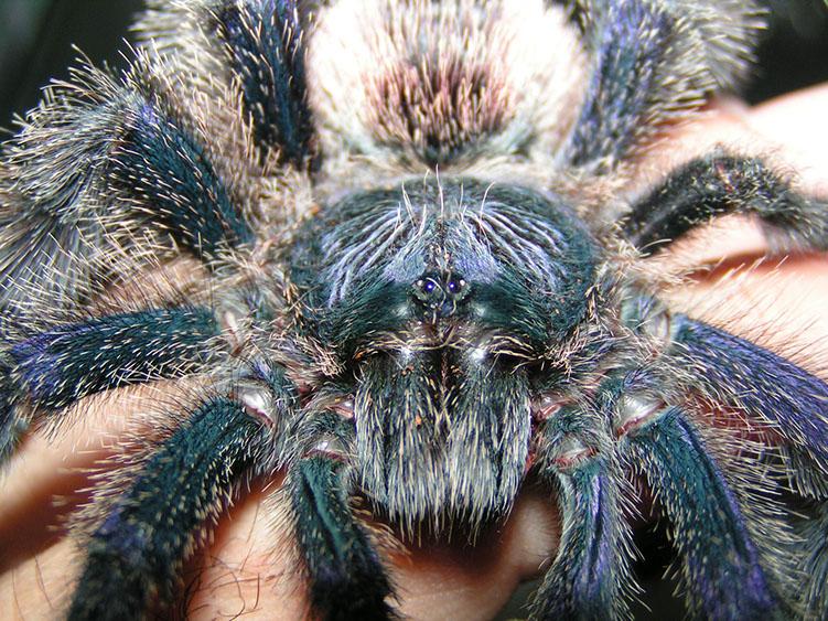 Peruvian Pinktoe Tarantula