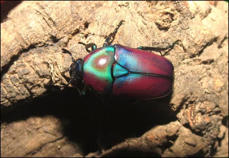 Purple Jewel Beetle