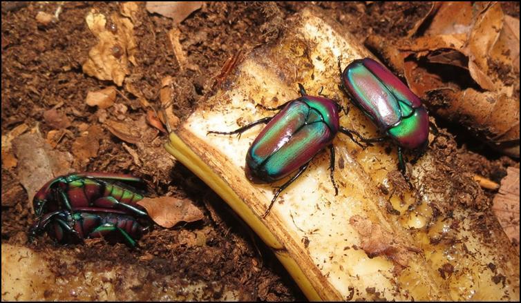 Stunning colours of Purple Jewel Beetles