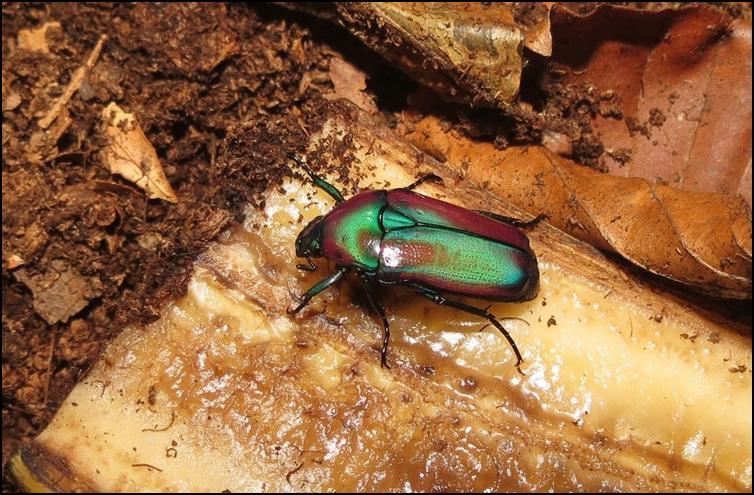 Purple Jewel Beetle eating