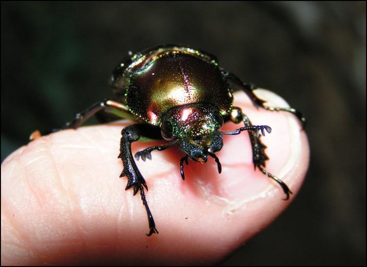 Female Rainbow Stag Beetle