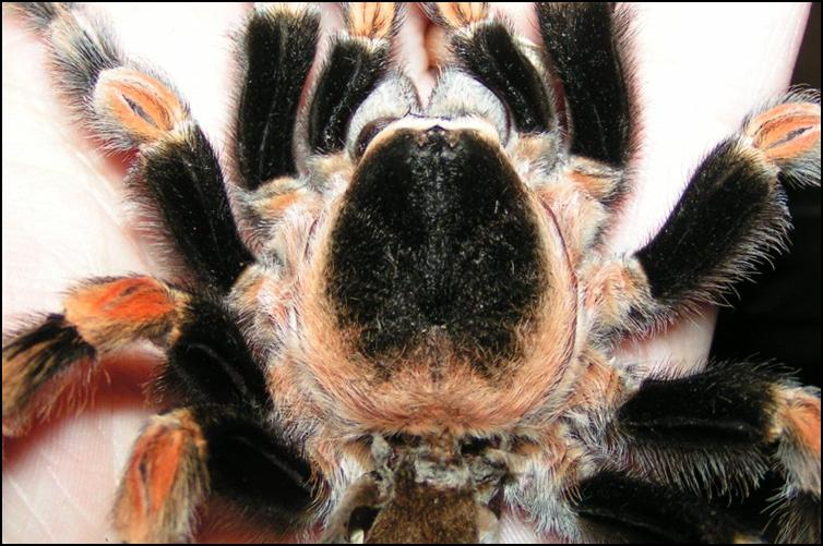 Mexican Red Knee Tarantula exoskeleton