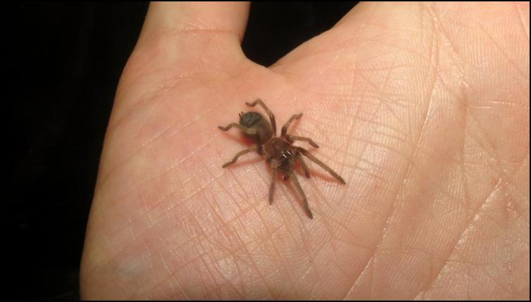 Tiny juvenile Mexican red knee tarantula