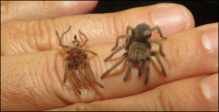 Juvenile Mexican Red Knee Tarantula after first moult (with old exoskeleton)