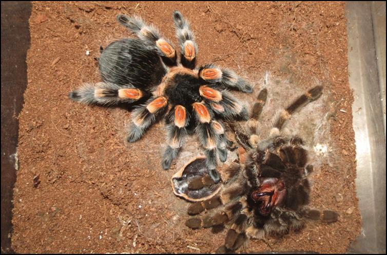 Adult Mexican Red Knee Tarantula with old exoskeleton