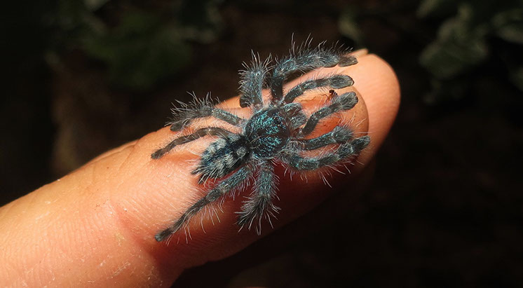 Antilles Pink Toes Tarantula spidering with newly re-grown leg