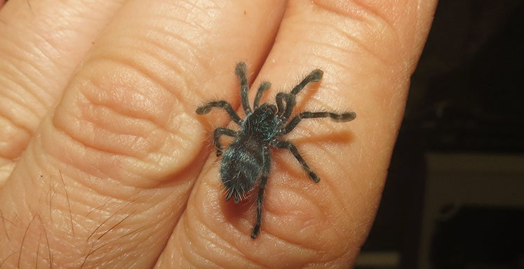 Antilles Pink Toes Tarantula spidering with only 7 legs