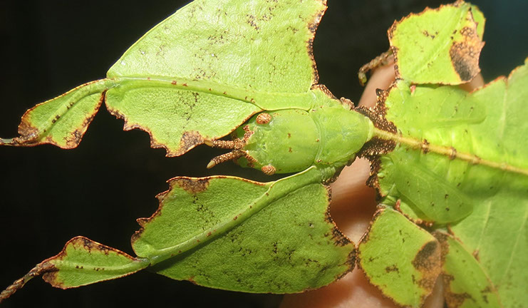 Close-up of camouflage of Giant Leaf Insect