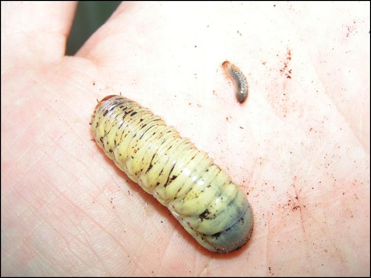 Sun beetle larva size difference
