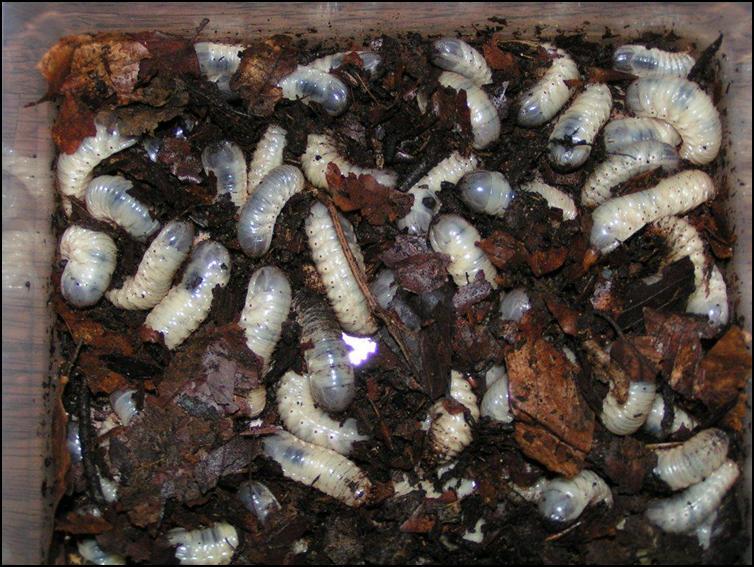 Sun beetle grubs