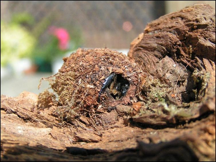 Sun Beetle emerging from larval stage