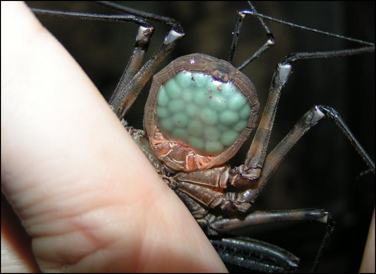 Tailless Whip Scorpion carrying eggs