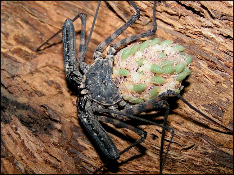 Tailless Whip Scorpion babies on their mother's back