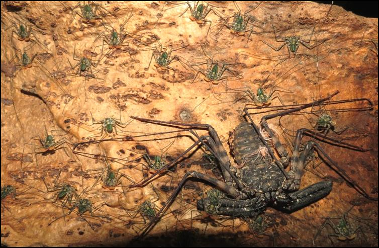 Tailless Whip Scorpions leaving their mother's back