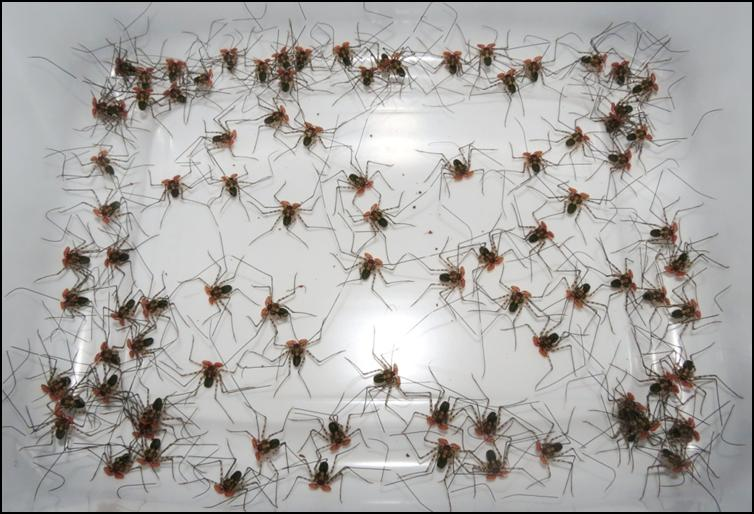 Lots of baby Tailless Whip Scorpions
