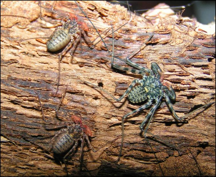 Size difference between different Tailless Whip Scorpion moults