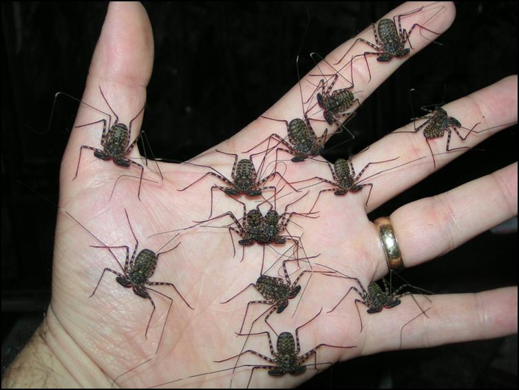 Three month old Tailless Whip Scorpions
