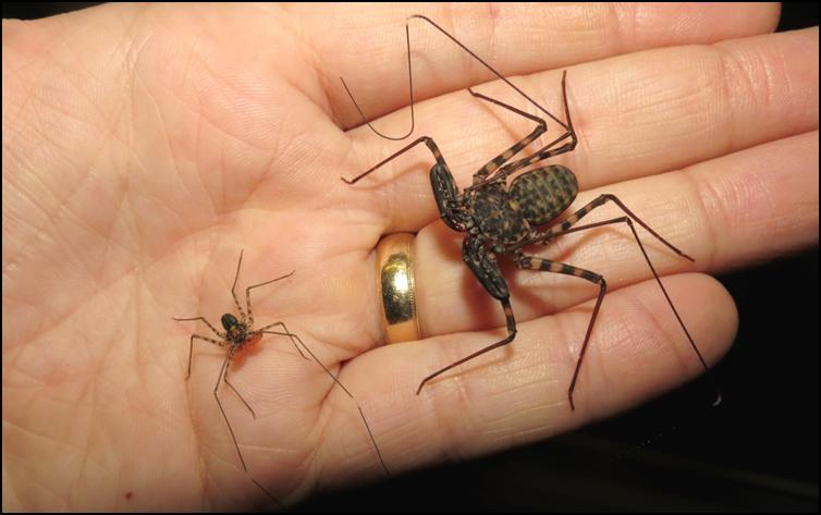 Newly hatched vs 5 month old Tailless Whip Scorpion
