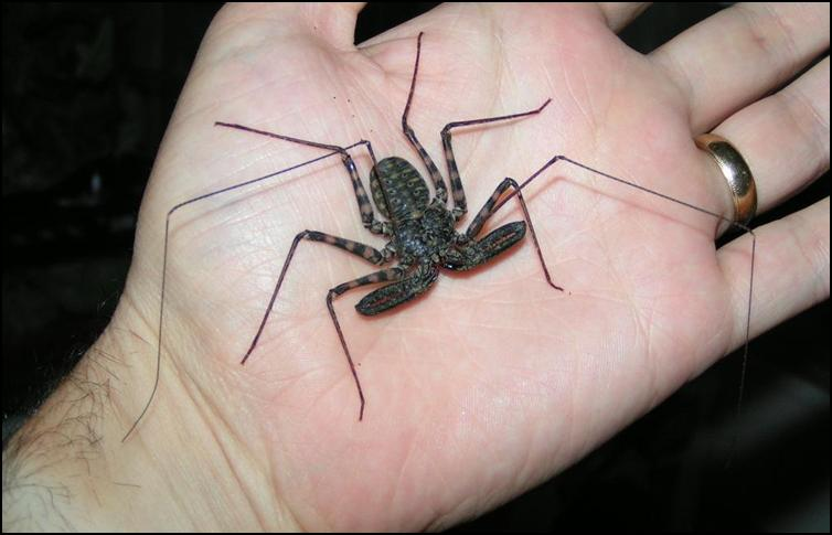 6 month old Tailless Whip Scorpion
