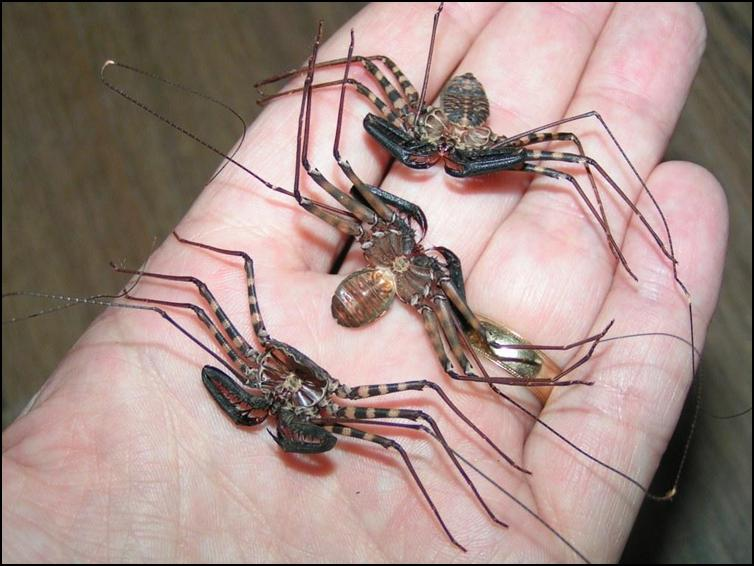 Exuviae of 6 month old Tailless Whip Scorpions