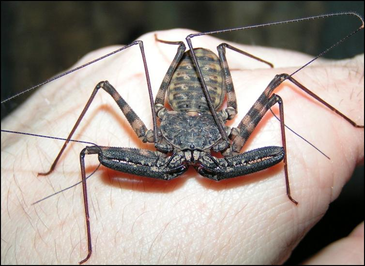 1 year old Tailless Whip Scorpion