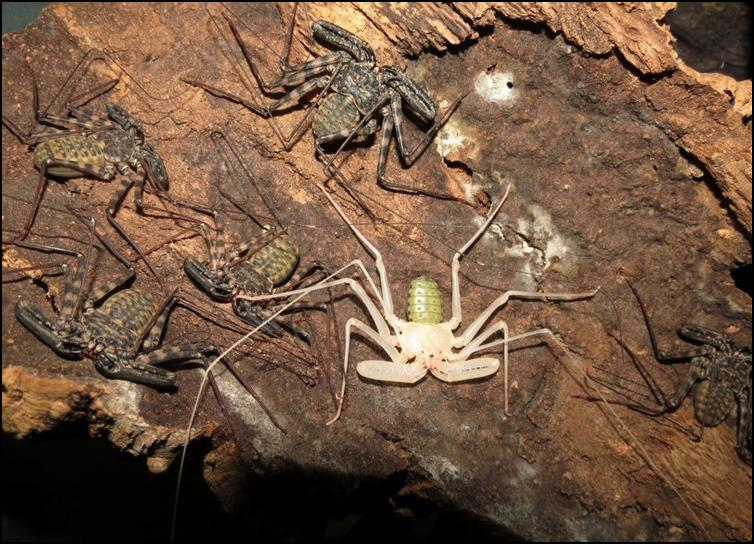 Difference between recently moulted and normal Tailless Whip Scorpions