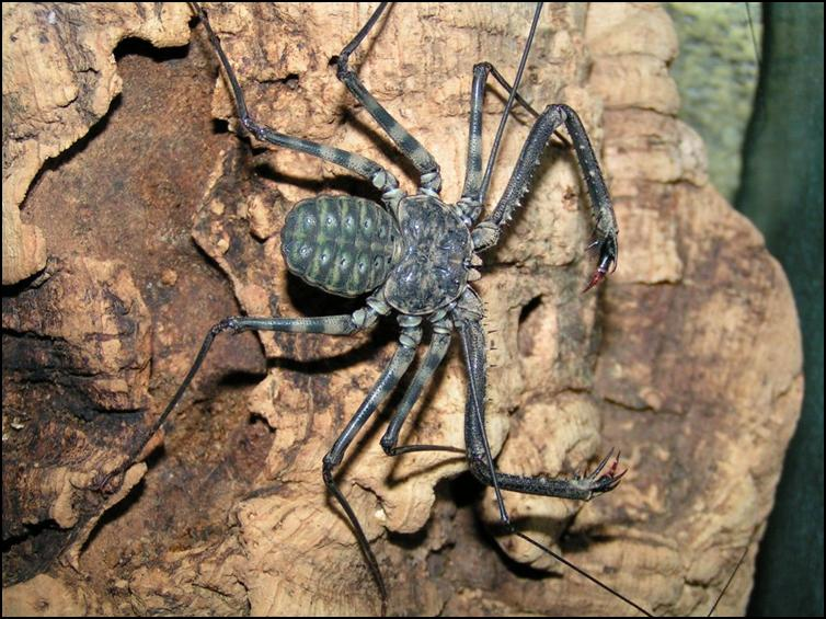 Tailless Whip Scorpion pincers / pedipalps