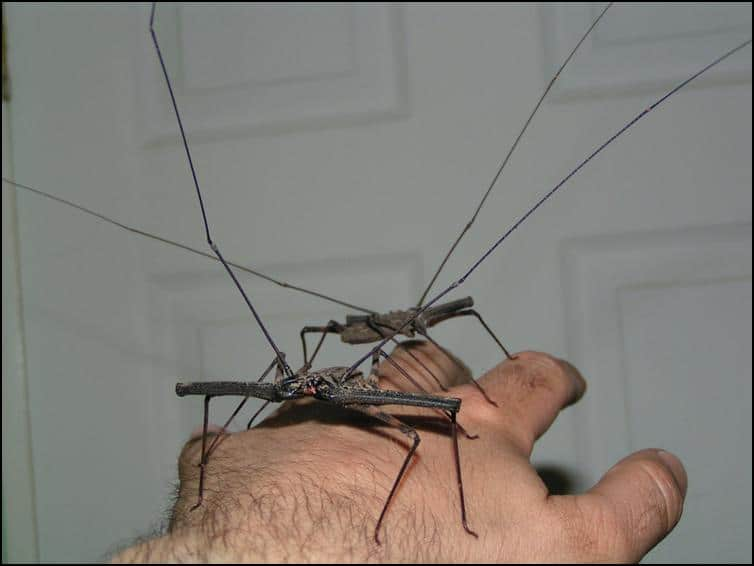 Long Tailless Whip Scorpion legs