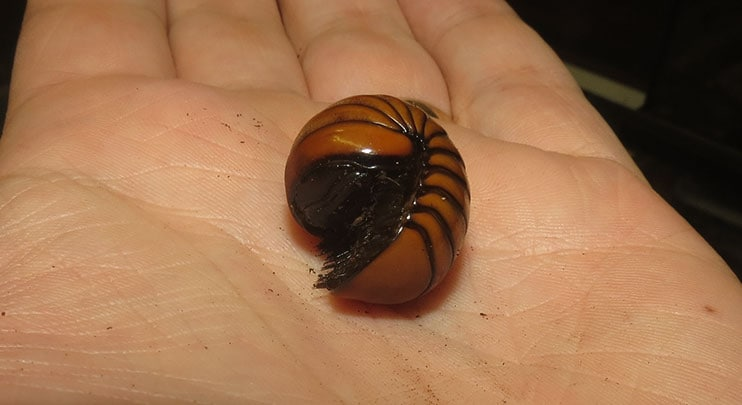 Tanzanian Pill Millipede