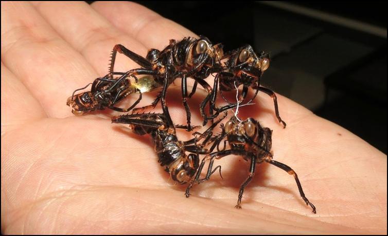 Exoskeletons / exuviae of Tropidacris collaris