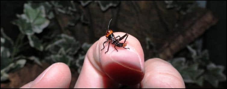 Tropidacris collaris nymph