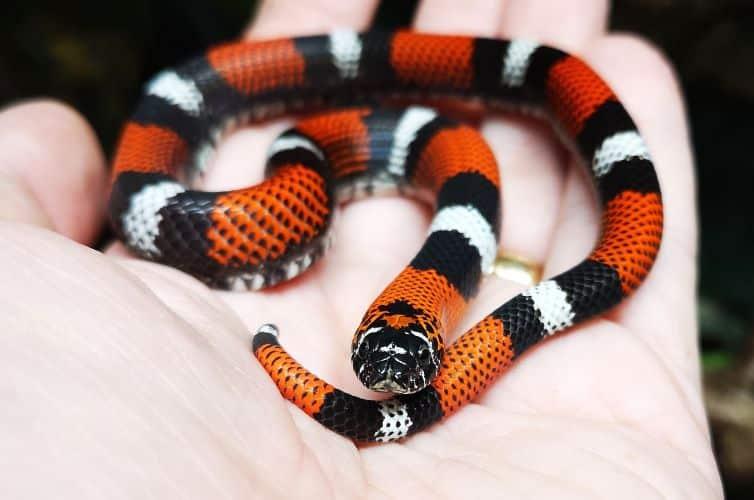 Tricolour hognose snake