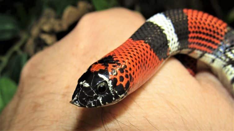 Tricolour hognose snake head